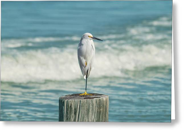 White River Greeting Cards - Snowy Egret - Naples Beach Greeting Card by Kim Hojnacki