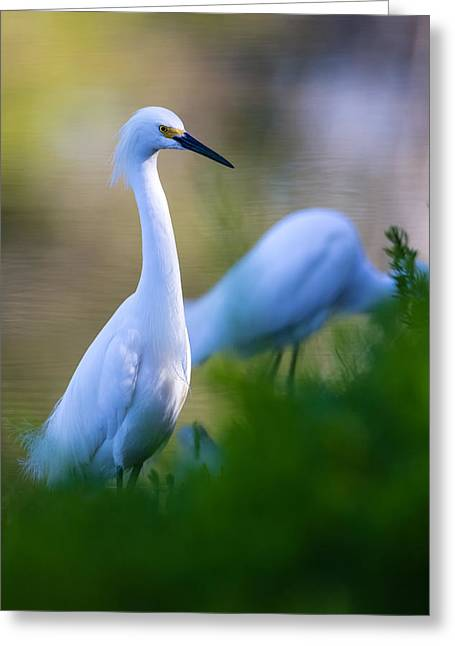 Watching Greeting Cards - Snowy Egret on a lush green foreground Greeting Card by Andres Leon