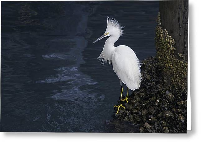 Santa Cruz Pier Greeting Cards - Snowy Egret on a Pier Greeting Card by Randy Stiefer