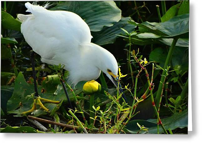 Snowie Greeting Cards - Snowy Egret on the Hunt Greeting Card by Pat Neely Stewart