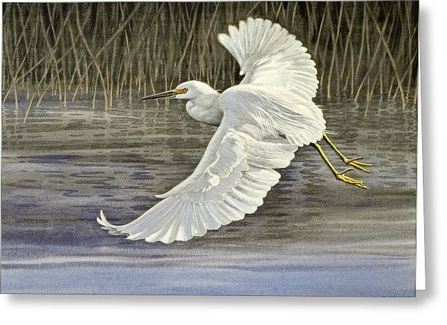 Egrets Greeting Cards - Snowy Egret Greeting Card by Paul Krapf
