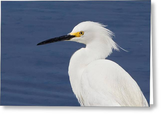 """nature Photography Prints"" Greeting Cards - Snowy Egret Portrait Greeting Card by Stephanie McDowell"