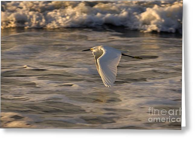 Egretta Thula Greeting Cards - Snowy Egret Greeting Card by Ron Sanford