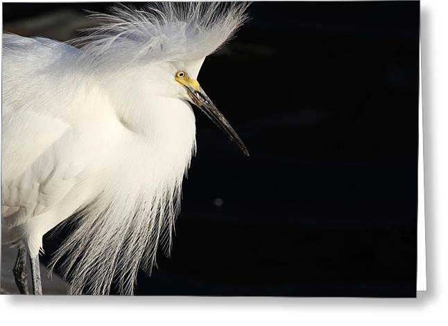 White Pyrography Greeting Cards - Snowy Egret Greeting Card by Valia Bradshaw