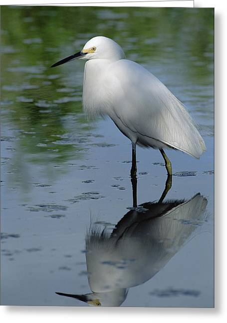 Egretta Thula Greeting Cards - Snowy Egret Wading Florida Keys Greeting Card by Flip Nicklin
