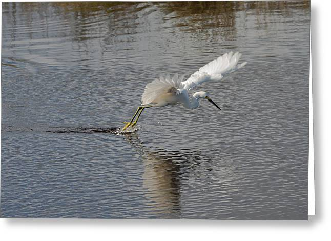 Snowie Greeting Cards - Snowy Egret Wind Sailing Greeting Card by John Bailey