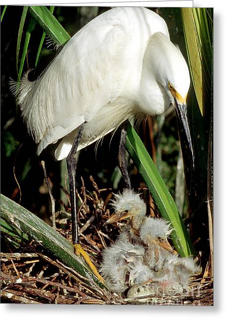 Baby Bird Greeting Cards - Snowy Egrets Greeting Card by Millard H. Sharp