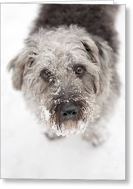 Snowy Faced Pup Greeting Card by Natalie Kinnear