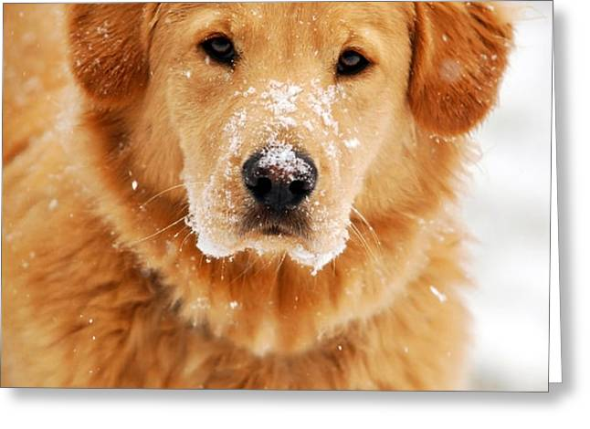 Snowy Golden Retriever Greeting Card by Christina Rollo