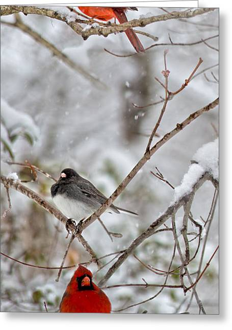 Sit-ins Greeting Cards - Snowy Grace Cardinals Greeting Card by Betsy A  Cutler