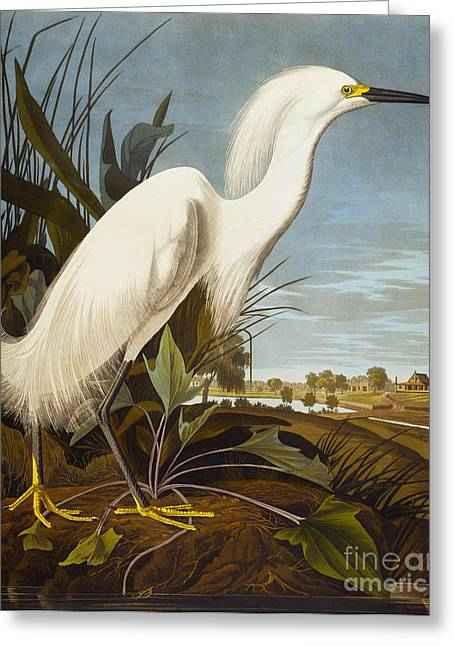 Egret Greeting Cards - Snowy Heron Or White Egret Greeting Card by John James Audubon