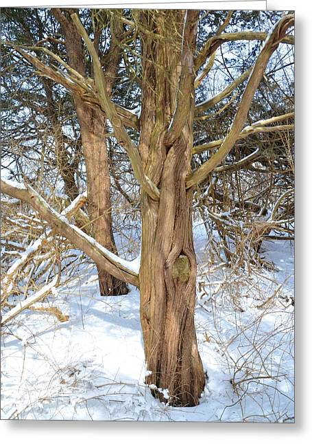 Oxford. Oxford Ma. Massachusetts Greeting Cards - Snowy Knotted Trees Greeting Card by Toby McGuire