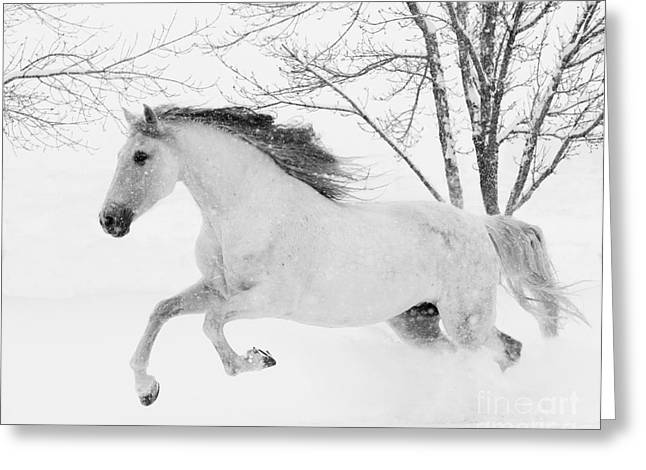 Andalusian Greeting Cards - Snowy Mare Leaps Greeting Card by Carol Walker