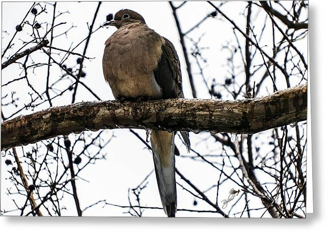Morning Dove Photograph Greeting Cards - Snowy Morning Dove Greeting Card by Rybird Music