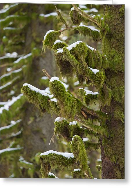 Kodiak Greeting Cards - Snowy Moss Greeting Card by Tim Grams