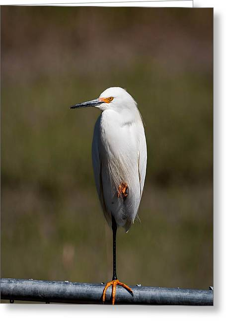 Snowy Egret Greeting Cards - Snowy On The Fence Greeting Card by Benjamin DeHaven