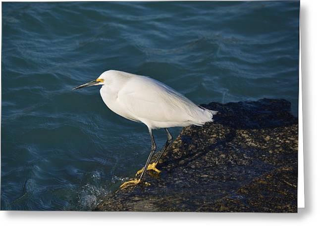 Water Bird Greeting Cards - Snowy on the Rocks Greeting Card by Patricia Twardzik