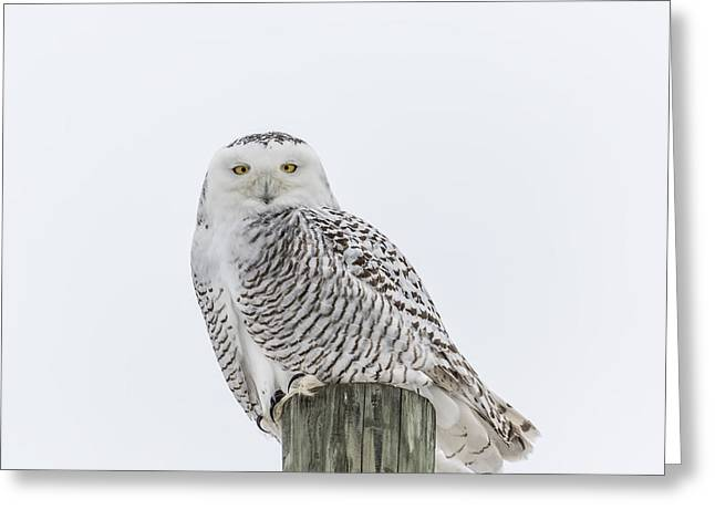 Snowy White Owl Greeting Cards - Snowy Owl 2014 1 Greeting Card by Thomas Young