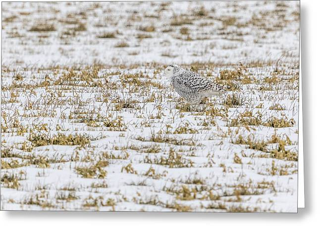Glowing Eyes Greeting Cards - Snowy Owl 2014 2 Greeting Card by Thomas Young