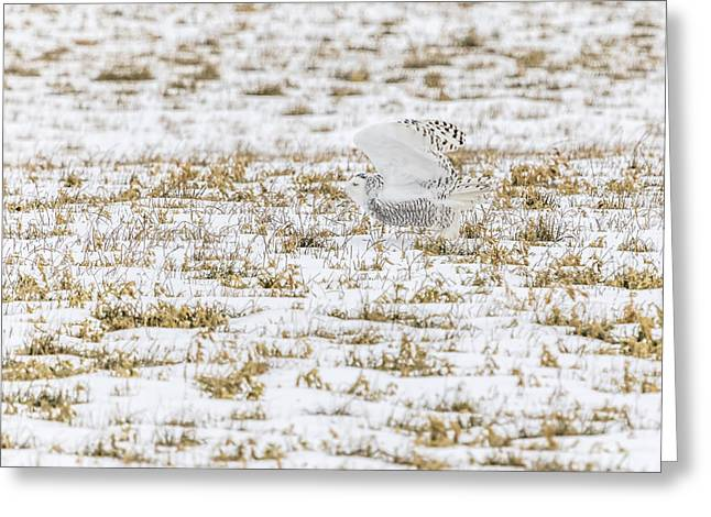 Glowing Eyes Greeting Cards - Snowy Owl 2014 3 Greeting Card by Thomas Young