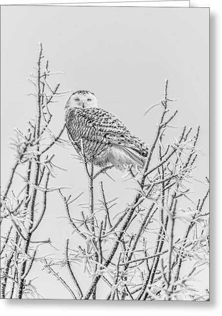 Glowing Eyes Greeting Cards - Snowy Owl 2014 4 Black and White Greeting Card by Thomas Young