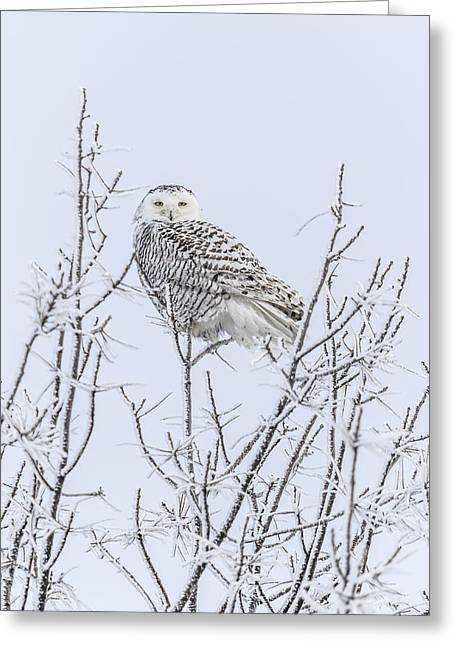 Glowing Eyes Greeting Cards - Snowy Owl 2014 4 Greeting Card by Thomas Young