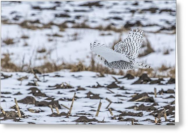 Glowing Eyes Greeting Cards - Snowy Owl 2014 6 Greeting Card by Thomas Young