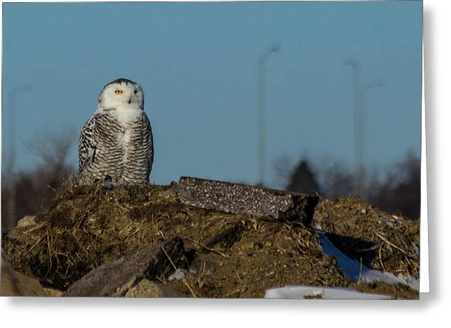 Snowy White Owl Greeting Cards - Snowy Owl Greeting Card by Aaron J Groen