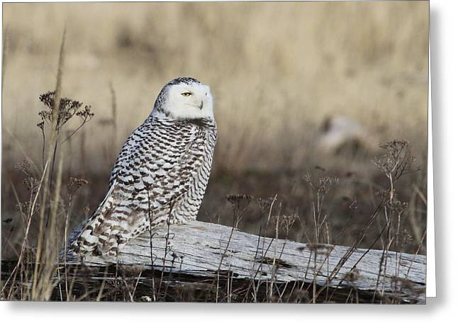 Ocean Shore Greeting Cards - Snowy Owl Greeting Card by Angie Vogel