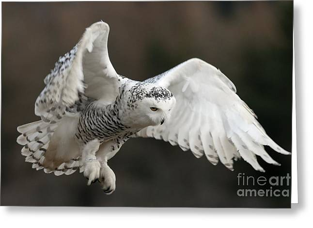 Ornithological Photographs Greeting Cards - Snowy Owl Greeting Card by Annie Haycock