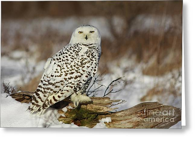 Snowy Owl At Sunset Greeting Card by Inspired Nature Photography Fine Art Photography