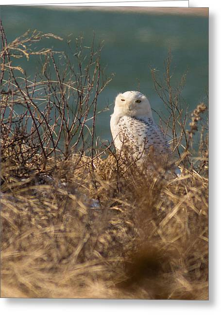Snowy Owl At The Beach Greeting Card by Allan Morrison