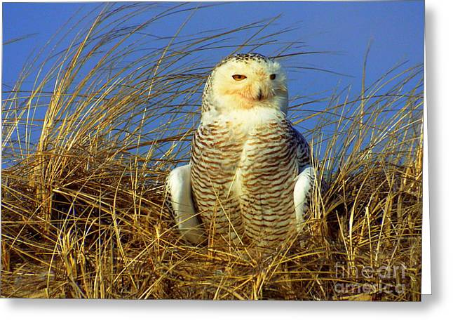 Snowy Owl  Greeting Card by CapeScapes Fine Art Photography