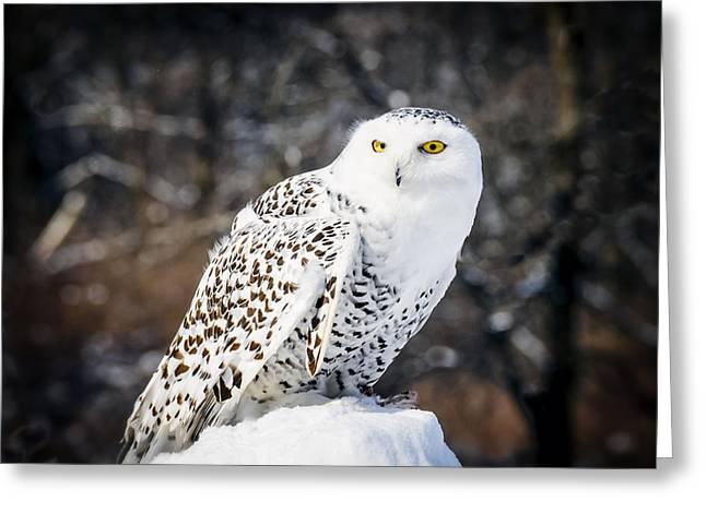 Owl Greeting Cards - Snowy Owl Cold Stare Greeting Card by LeeAnn McLaneGoetz McLaneGoetzStudioLLCcom
