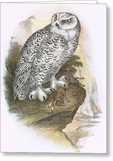 Snowy Owl Greeting Cards - Snowy Owl Greeting Card by English School