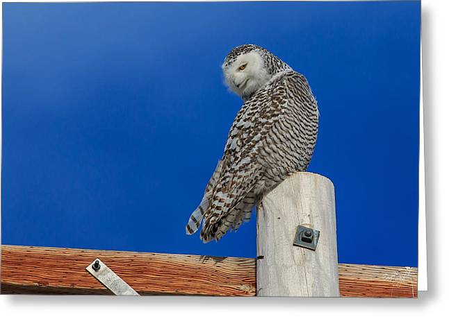 Snowy Owl Greeting Cards - Snowy Owl Greeting Card by Everet Regal