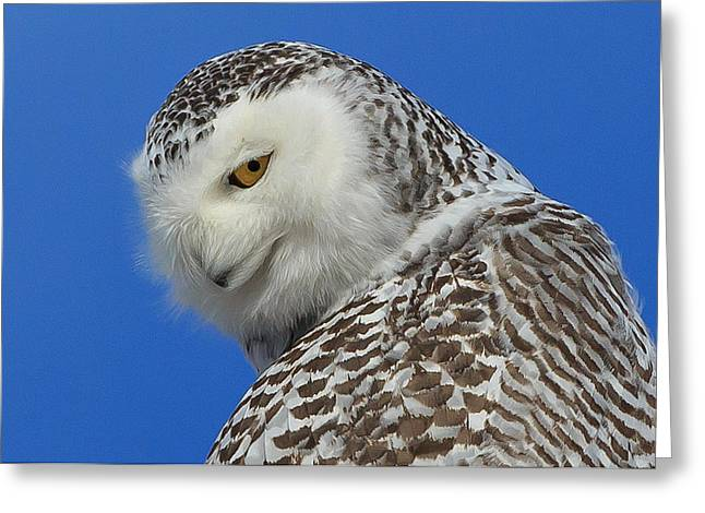 Snowy Owl Greeting Cards - Snowy Owl Greeting Card Greeting Card by Everet Regal