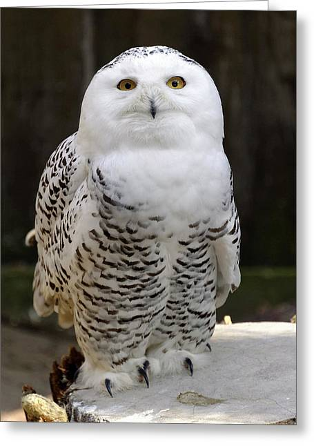 Snowy Owl Greeting Card by Heiti Paves