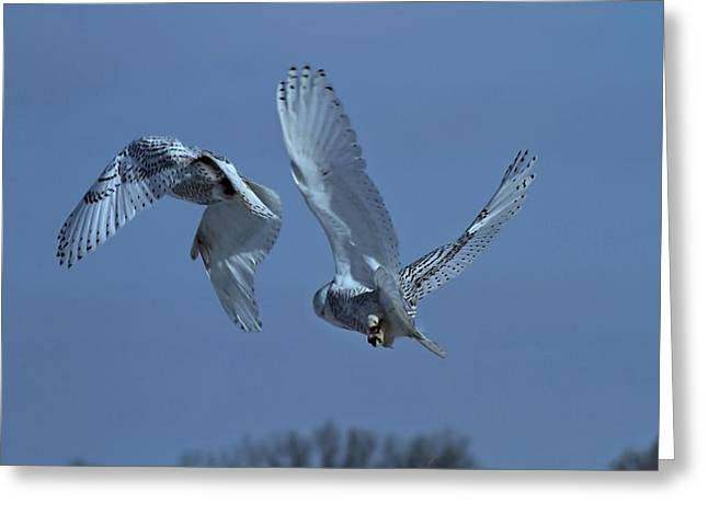 Snowy Owl In Flight Greeting Card by Dan Sproul