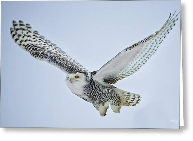Owl Photographs Greeting Cards - Snowy Owl in flight Greeting Card by Everet Regal