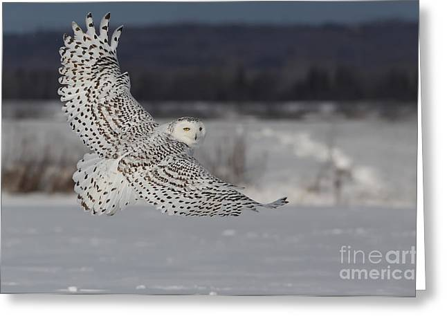 Mystic Photographs Greeting Cards - Snowy Owl in flight Greeting Card by Mircea Costina Photography