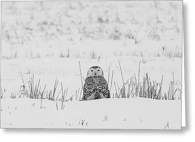 Snow White Greeting Cards - Snowy Owl in Snowy Field Greeting Card by Carrie Ann Grippo-Pike