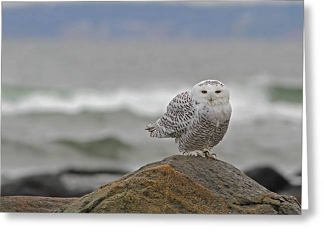 Wildlife Refuge. Greeting Cards - Snowy Owl Greeting Card by Juergen Roth
