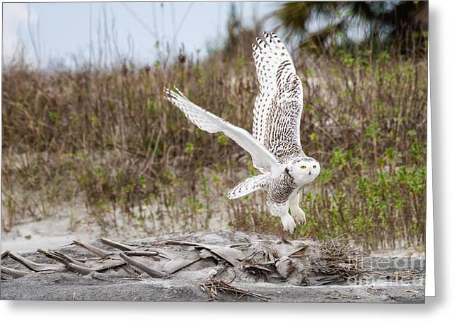 Recently Sold -  - Jacksonville Greeting Cards - Snowy Owl Little Talbot Island State Park Florida Greeting Card by Dawna  Moore Photography