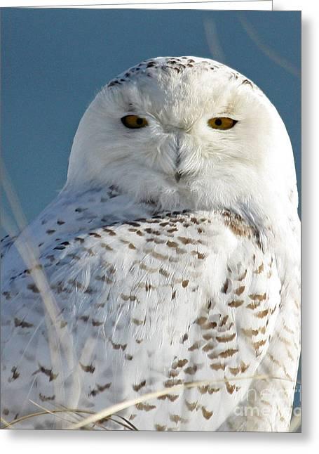 Lloyd Alexander Greeting Cards - Snowy Owl Greeting Card by Lloyd Alexander