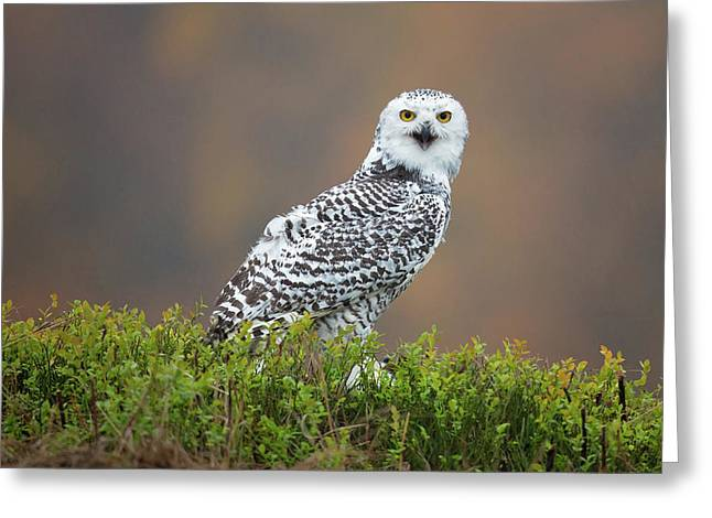 Snowy Owl Greeting Card by Milan Zygmunt