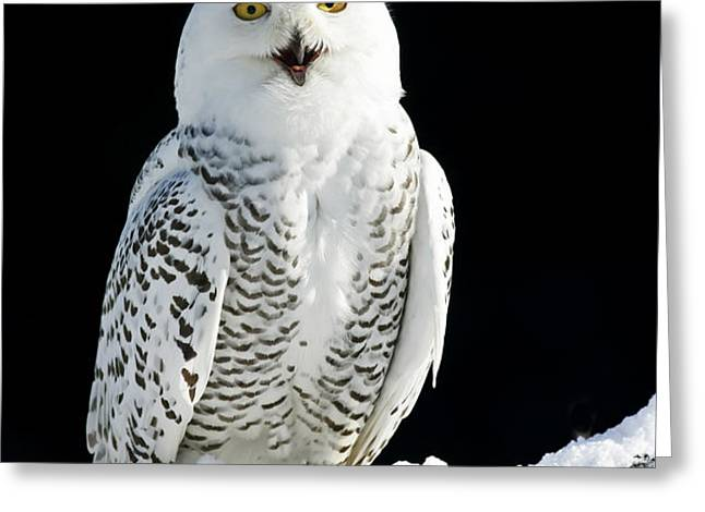 Snowy Owl on a Twilight Winter Night Greeting Card by Inspired Nature Photography By Shelley Myke