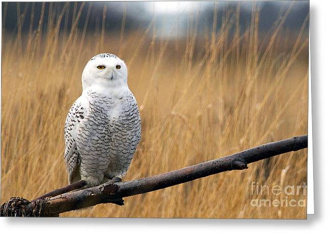 Snowy White Owl Greeting Cards - Snowy Owl on Branch Greeting Card by Sharon  Talson
