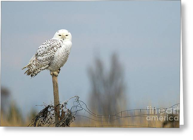 Snowy White Owl Greeting Cards - Snowy Owl on Fence Post 2 Greeting Card by Sharon  Talson