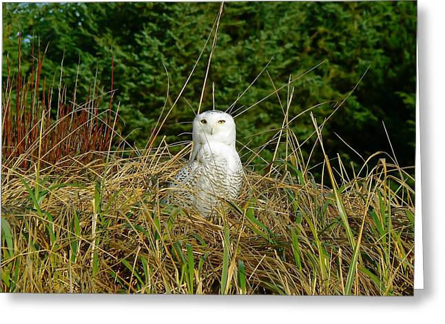 Pamela Patch Greeting Cards - Snowy Owl Greeting Card by Pamela Patch